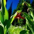 Western Columbine: Aquilegia formosa- Three Fingered Jack, Canyon Creek Meadows Hike