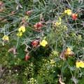 Desert Rock Pea flowers- Hellhole Canyon Trail to Maidenhair Falls