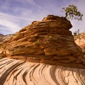 Pine on stone in Zion National Park.- Leica Akademie Photography Workshop in Zion National Park