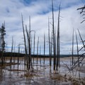 Dead trees at a geyser field in Yellowstone. - Wolf Tracking in Yellowstone National Park