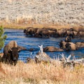 Bison crossing the Madison River.- Wolf Tracking in Yellowstone National Park