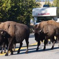 Bison-jam on the Highway in Yellowstone.- Wolf Tracking in Yellowstone National Park
