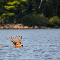 A buck swimming to cross a lake in the Boundary Waters Canoe Area Wilderness.- Mining Endangers Minnesota's Boundary Waters