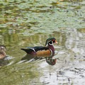 Wood duck (Aix sponsa)- Fall in Oregon Is For the Birds