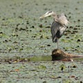 Great blue heron (Ardea herodias)- Fall in Oregon Is For the Birds