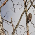 Northern flicker (Colaptes auratus)- Fall in Oregon Is For the Birds
