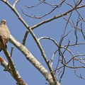 Mourning dove (Zenaida macroura)- Fall in Oregon Is For the Birds