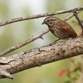 Song sparrow (Malospiza melodia)- Fall in Oregon Is For the Birds