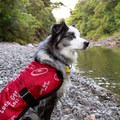 Kali is trying to decide if the river is too cold to go for a swim.- A Guide to Summer Adventuring with Your Dog