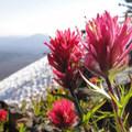 Magenta paintbrush (Castilleja parviflora) on Mount Washington.- Head for the Hills: 6 Must Do Climbs!
