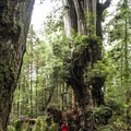 Kalaloch Western Red Cedar, Olympic National Park.- Finding the Giants: 17 Places That Will Amaze You!