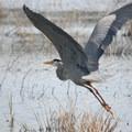 Ridgefield National Wildlife Refuge: Great blue heron (Ardea herodias).- National Wildlife Refuge System