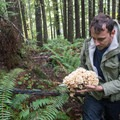 A large cauliflower mushroom (Sparassis crispa).- Where to Find Mushrooms in the Pacific Northwest