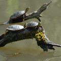 Ridgefield National Wildlife Refuge: Western painted turtle (Chrysemys picta).- National Wildlife Refuge System