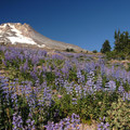 Mount Hood (11,250') and lupine field from Paradise Park.- A Photographer's Perspective: Best Views of Mount Hood