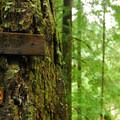 Moss adorned tree along the Eagle Creek Trail.- An Ode to Moss!