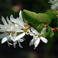 Western serviceberry (Amelanchier alnifolia) on Dog Mountain.- 11  Epic Locations for Early Summer Wildflowers Near Portland