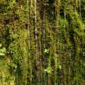 Water drenched moss wall along Eagle Creek off of the Clackams River.- An Ode to Moss!