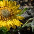 Puget balsamroot (Deltoid balsamroot).- Wildflower Hikes in Oregon