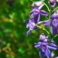 Poison delphinium (delphinium trolliifolium) along the Trail of 10 Falls.- 11  Epic Locations for Early Summer Wildflowers Near Portland