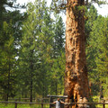 Big Tree, a giant ponderosa pine (Pinus ponderosa), LaPine State Park.- Finding the Giants: 17 Places That Will Amaze You!
