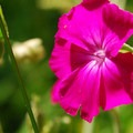 Rose campion (Silene coronaria) along the Wilson River Trail.- Summer Along the Wilson River