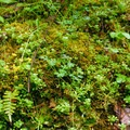 Old-growth forest ground cover.- An Ode to Moss!