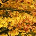 Bigleaf maple (Acer macrophyllum) near Saddle Mountain.- 20 Great Fall Hikes in Oregon