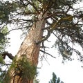 Giant ponderosa pine (Pinus ponderosa), LaPine State Park.- Finding the Giants: 17 Places That Will Amaze You!