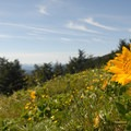 Meadow of Puget balsamroot (Balsamorphiza deltoidea) atop Dog Mountain.- 11  Epic Locations for Early Summer Wildflowers Near Portland
