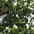 An osprey in flight.- Osprey, a Species Returned from the Brink