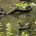 Mallards (Anas platyrhynchos) along the Arboretum Waterfront Trail.- 5 Fun Facts About Ducks
