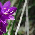 Satin flower (Sisyrinchium) at Tom McCall Preserve.- 11  Epic Locations for Early Summer Wildflowers Near Portland