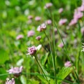 Unidentified milkweed species on Dog Mountain (help us identify it by providing feedback).- 11  Epic Locations for Early Summer Wildflowers Near Portland