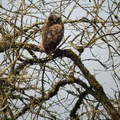 Ridgefield National Wildlife Refuge: Great horned owl (Bubo virginianus).- National Wildlife Refuge System