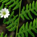 Long-stalked starwort (Stellaria longipes) popping through a bracken fern (Pteridium aquilinum).- Wildflower Hikes in Oregon