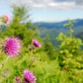 Indian thistle (Cirsium edule).- Wildflower Hikes in Oregon
