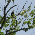 Ridgefield National Wildlife Refuge: Bald eagle (Haliaetus leucocephalus).- National Wildlife Refuge System