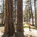 Old-growth ponderosa pines at Gorge Campground.- Camping on the Metolius River