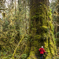 Queets Spruce, Olympic National Park.- Finding the Giants: 17 Places That Will Amaze You!