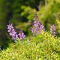 Lupine in bloom on the Kings Mountain summit.- Meet the Wild Salmon Center