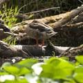 Mallards (Anas platyrhynchos) at Washington Park Arboretum.- 5 Fun Facts About Ducks