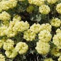 Parsley desert buckwheat (Eriogonum compositum) at Coyote Wall.- 11  Epic Locations for Early Summer Wildflowers Near Portland