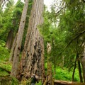 Old-growth Douglas fir, Gifford Pinchot National Forest.- U.S. Forest Service