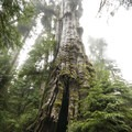 Quinault Giant Western Red Cedar, the world's largest cedar, in Olympic National Park.- Finding the Giants: 17 Places That Will Amaze You!