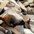 Goat Lake Wilderness: Hoary marmot (Marmota caligata).- National Wilderness Preservation System