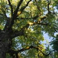 Giant black cottonwood along the pavilion trail.- Wednesday's Word - Champoeg