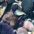 Purple sea urchin (Strongylocentrotus purpuratus) among broken shells in tide pools along the Oregon Coast.- Exploring Oregon Coast Tide Pools