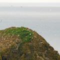Nesting western gulls (Larus occidentalis) on Jockey Cap Rock.- Oregon Islands National Wildlife Refuge