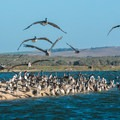 Hundreds of pelicans find sanctuary here at Rancho Guadalupe Dunes.- 3-day Adventure Itinerary for Santa Maria Valley